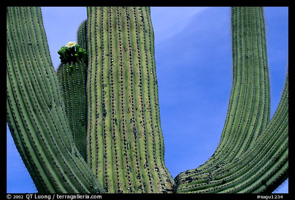 Arms of Saguaro cactus. Saguaro National Park (color)
