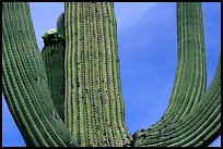 Arms of Saguaro cactus. Saguaro National Park, Arizona, USA. (color)