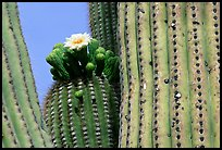 Saguaro cactus with blooms. Saguaro National Park, Arizona, USA.