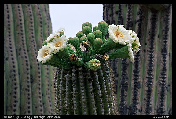Saguaro cactus blooms. Saguaro National Park, Arizona, USA.