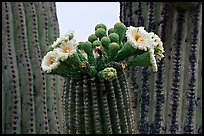 Saguaro cactus blooms. Saguaro National Park ( color)