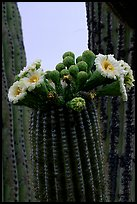 Saguaro cactus flowers and arm. Saguaro National Park, Arizona, USA.