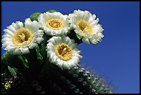 Saguaro cactus blooming. Saguaro National Park, Arizona, USA.