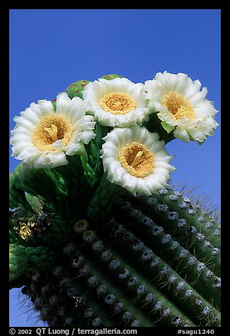 Saguaro cactus flowers against blue sky. Saguaro National Park (color)