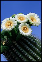 Saguaro cactus flowers against blue sky. Saguaro National Park, Arizona, USA.
