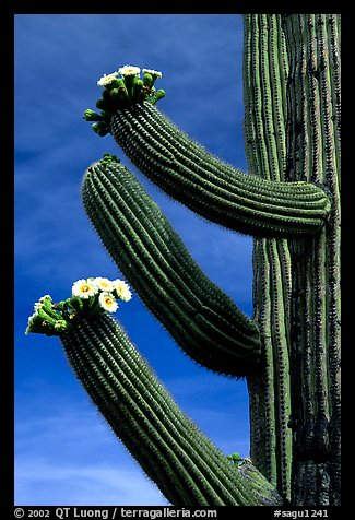 Arms of blooming Saguaro cactus. Saguaro National Park (color)