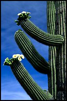 Arms of blooming Saguaro cactus. Saguaro National Park, Arizona, USA.