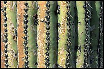 Saguaro cactus trunk close-up. Saguaro National Park, Arizona, USA. (color)