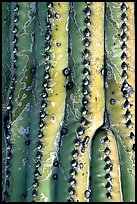Saguaro cactus trunk detail. Saguaro National Park, Arizona, USA.