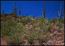 Ocatillo and Saguaro cactus on hillside. Saguaro National Park, Arizona, USA.