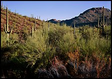 Palo Verde and saguaro cactus on hill. Saguaro National Park, Arizona, USA.