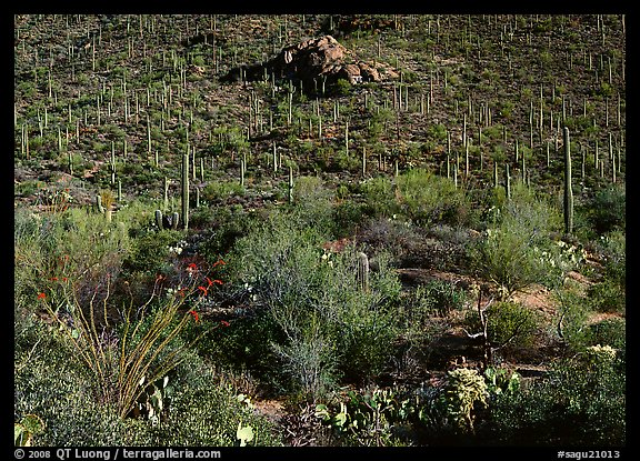 Cactus forest on hillside, Gates pass, morning. Saguaro National Park, Arizona, USA.