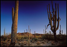 Saguaro cacti (scientific name: Carnegiea gigantea), late afternoon. Saguaro National Park, Arizona, USA.