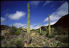 Saguaro cactus forest on hillside, morning, West Unit. Saguaro National Park, Arizona, USA.