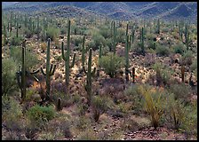 Ocatillo and saguaro cactus in valley. Saguaro National Park, Arizona, USA.