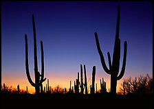 Saguaro cactus silhouettes at sunset. Saguaro National Park ( color)