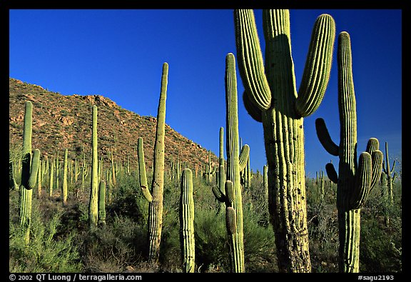 Saguaro cacti forest on hillside, late afternoon, West Unit. Saguaro National Park (color)