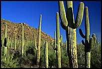 Saguaro cacti forest on hillside, late afternoon, West Unit. Saguaro National Park, Arizona, USA.