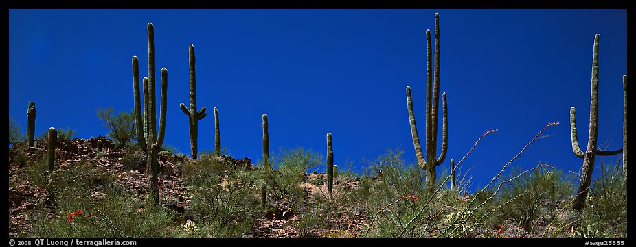 Saguaro cactus on hill under pure blue sky. Saguaro National Park (color)