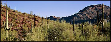 Sonoran desert landscape with sagaruo cactus. Saguaro  National Park (Panoramic color)