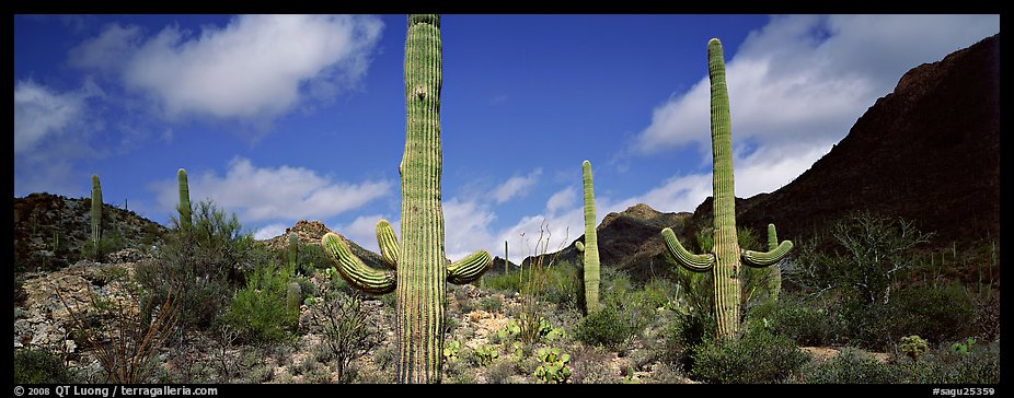 Saguaro cacti in arid landscape. Saguaro National Park (color)