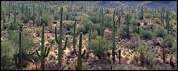 Dense forest of giant saguaro cactus. Saguaro National Park (Panoramic color)