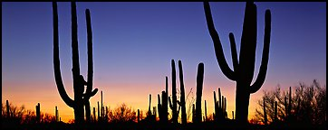 Saguaro cactus silhouettes at sunset. Saguaro National Park (Panoramic color)