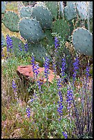 Royal lupine and prickly pear cactus. Saguaro National Park ( color)