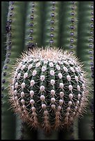 Prickly ball on saguaro cactus, precursor of a new arm. Saguaro National Park, Arizona, USA. (color)