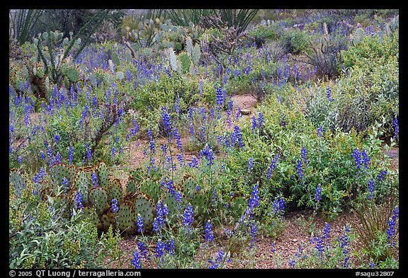 Royal lupine blanketing the desert floor near Signal Hill. Saguaro National Park (color)