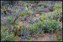 Royal lupine blanketing the desert floor near Signal Hill. Saguaro National Park, Arizona, USA. (color)