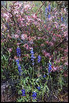 Royal lupine and fairy duster. Saguaro National Park ( color)
