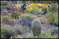 Cactus, royal lupine, and brittlebush. Saguaro National Park, Arizona, USA.