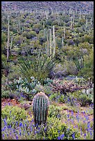 Lupine, saguaro cactus, and occatillo. Saguaro National Park, Arizona, USA.