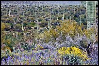 Sonoran desert in bloom, Tucson Mountain District. Saguaro National Park, Arizona, USA. (color)