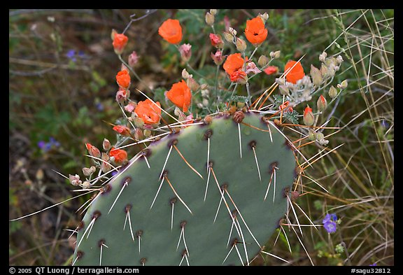 Apricot mellow and prickly pear cactus. Saguaro National Park (color)