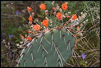 Apricot mellow and prickly pear cactus. Saguaro National Park, Arizona, USA.