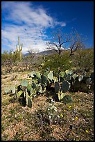 Wildflowers and cactus, Mica View, Rincon Mountain District. Saguaro National Park, Arizona, USA.