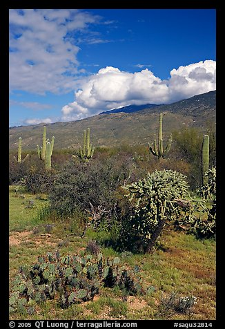Grassy area near Mica View, Rincon Mountain District. Saguaro National Park, Arizona, USA.