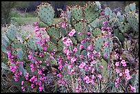 Pink wildflowers and prickly pear cactus. Saguaro National Park ( color)