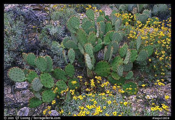 Brittlebush and prickly pear cactus. Saguaro National Park (color)
