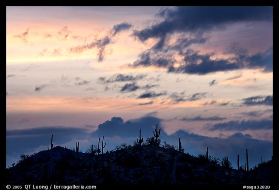 Saguaro cactus silhouetted on hill at sunrise near Valley View overlook. Saguaro National Park (color)