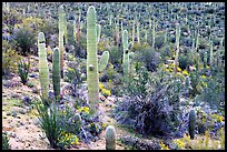 Saguaro cactus and desert in bloom near Valley View overlook. Saguaro National Park, Arizona, USA.