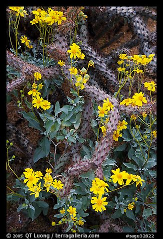 Brittlebush and cactus. Saguaro National Park, Arizona, USA.
