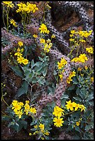 Brittlebush and cactus. Saguaro National Park, Arizona, USA. (color)