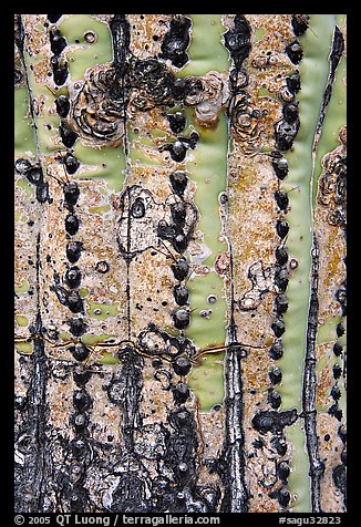 Bark of old saguaro cactus. Saguaro National Park (color)