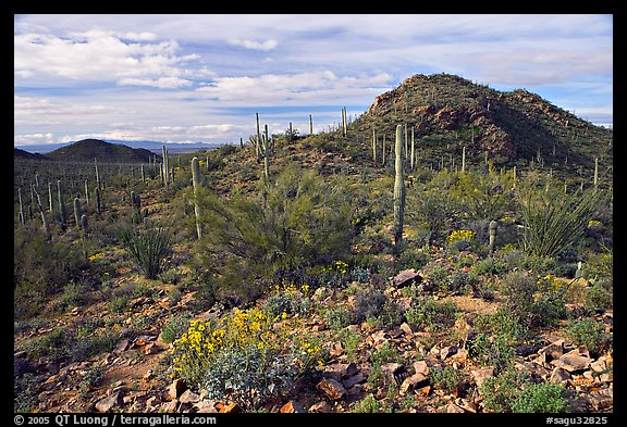 Brittlebush, cactus, and hills, Valley View overlook, morning. Saguaro National Park (color)