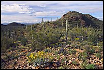 Brittlebush, cactus, and hills, Valley View overlook, morning. Saguaro National Park, Arizona, USA.
