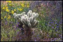 Cholla cactus, phacelia, and brittlebush. Saguaro National Park, Arizona, USA.