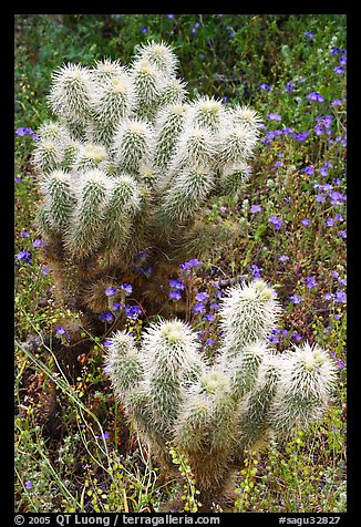 Teddy-bear Cholla cactus and phacelia. Saguaro National Park, Arizona, USA.